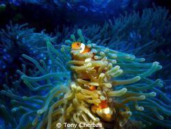 Clown Fish: Panasonic ZS3 with Inon video light by Tony Cherbas