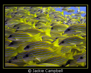School of blue lined snapper. Canon S90, Inon wide angle... by Jackie Campbell