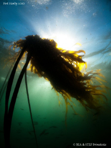 Kelp. by Bea & Stef Primatesta