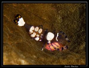 Crevette arlequin dans son anémone by André Bruchez