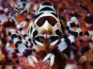 Coleman Shrimp, Seraya by Doug Anderson