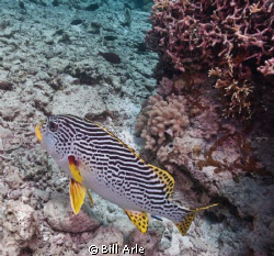 Sweetlips by Bill Arle