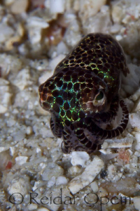 Bobtail squid at Buyat bay by Reidar Opem