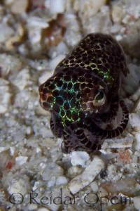 Bobtail squid at Buyat bay by Reidar Opem