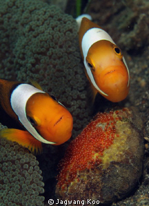 Anemone Fishes With Egg by Jagwang Koo