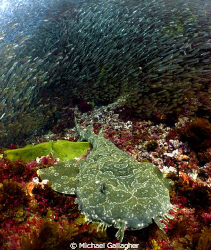 Wobbegong shark surrounded by glassfish at the Cod Hole, ... by Michael Gallagher
