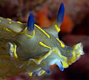 Portrait of a Hypselodoris picta  by Henry Jager