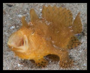 Frog fish shot in Pomene estuary. by Charles Wright