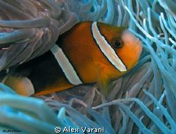 Amphiprion clarkii by Alex Varani