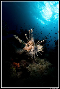 Snoot on lionfish... by Dray Van Beeck