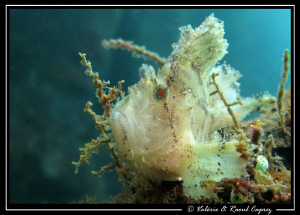 Taenianotus triacanthus on a small wreck of Bali by Raoul Caprez