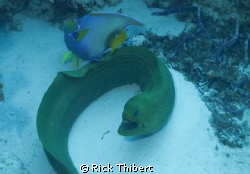 GREEN MORAY by Rick Thibert
