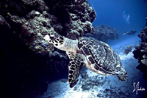 This turtle stayed right with us and was more interested ... by Steven Anderson