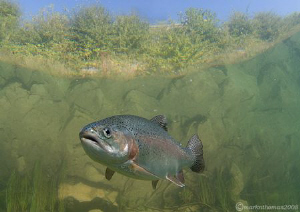 Rainbow trout. D200 10.5mm. by Mark Thomas
