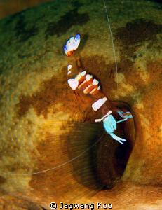 Shrimp clean up gill of fish by Jagwang Koo