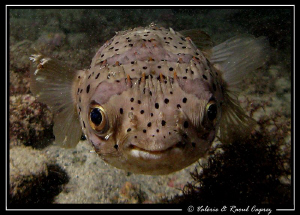 Not a shy one (Diodon holacanthus) by Raoul Caprez