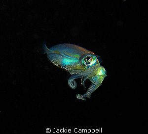 Tiny squid....no more than 6cm in length. Seen at the end... by Jackie Campbell