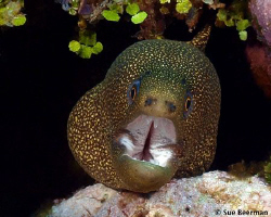 Goldentail Moray - deep throat by Susan Beerman