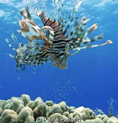lionfish by Paola Pallocci