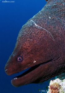 Giant Moray eel. by Bea & Stef Primatesta