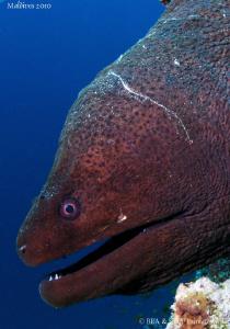 Giant Moray eel. by Bea & Stef Primatesta
