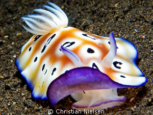 Nice nudibranch in the north of Bali. Olympus E330, 50mm ... by Christian Nielsen