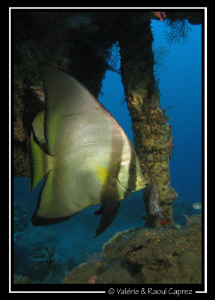 Platax pinnatus in the U.S. Liberty Wreck (Bali) by Raoul Caprez