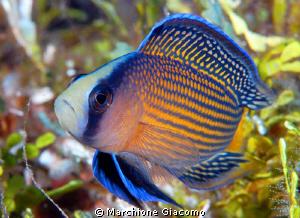 Jewel fish Nikon D200, 60 micro, twin strobo Wakatobi by Marchione Giacomo