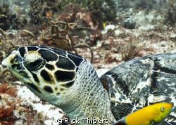 TURTLE KEEPING AN EYE.... by Rick Thibert