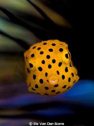 Yellow baby boxfish by Els Van Den Borre