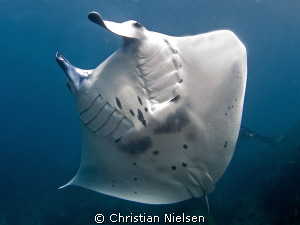Belly dancer. Beautiful manta ray on Manta Point, Nusa Pe... by Christian Nielsen