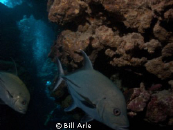 Trevally.  Canon G-10. by Bill Arle