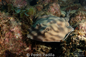 Guitarfish