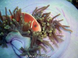Clownfish and anemone, Raja Ampat, taken with Olympus 301... by Alan G. Miller