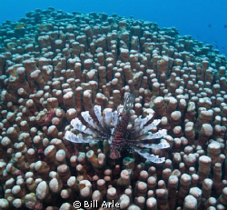 Lionfish on coral.  Canon G-10 by Bill Arle