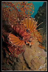 lionfish resting on the Boonsung Wreck (THAILAND) by Adriano Trapani