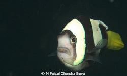 Clown Fish by M Faizal Chandra Bayu