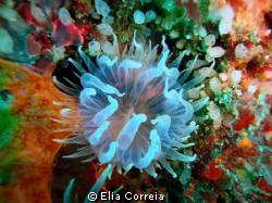 Translucent Anemone! by Elia Correia
