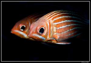 squirrelfish by Dray Van Beeck