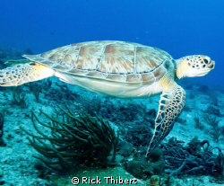 TURTLE by Rick Thibert