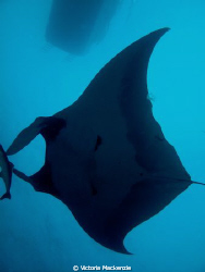 First (and hopefully not last!) Manta of the season!! by Victoria Mackenzie
