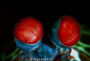 Eyes of Peacock Mantis Shrimp by Jagwang Koo