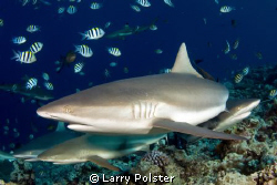 Sharks in Yap by Larry Polster