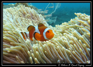 This Amphiprion ocellaris was not alone in its anemone ... by Raoul Caprez