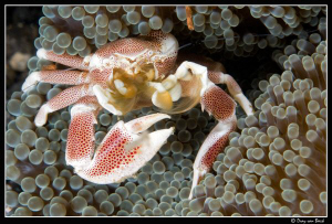 porcelain crab by Dray Van Beeck