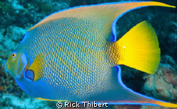 QUEEN ANGELFISH by Rick Thibert
