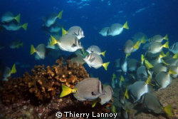 Surgeon fish in Cabo Pulmo, Baja California Sur, Mexico by Thierry Lannoy