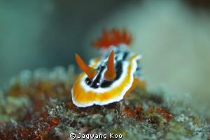 Nudibranch by Jagwang Koo