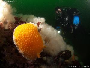 Orange peel nudibranch. by Bea & Stef Primatesta