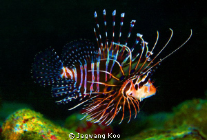 Lionfish by Jagwang Koo